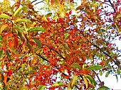 Branches of the bird cherry or mayday tree (Prunus padus). Autumn leaves background.
