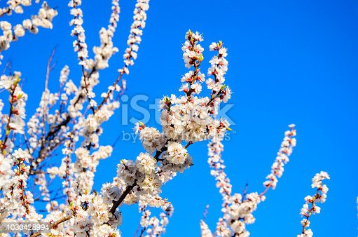 istock Branches of the blossoming apricot tree against blue sky 1030428994