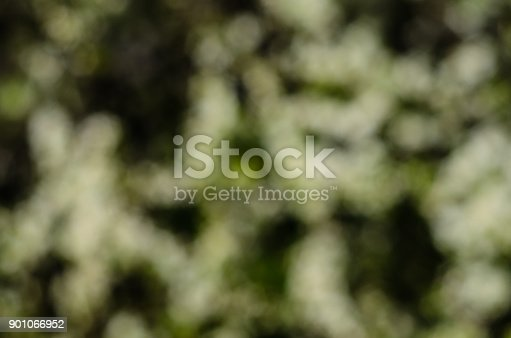 1135260918 istock photo Branches of the blossoming cherry. Blurred background 901066952