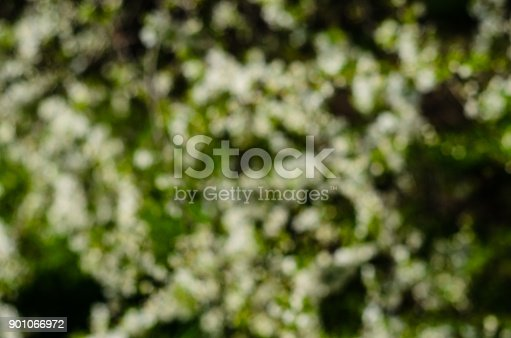 1135260918 istock photo Branches of the blossoming cherry. Blurred background 901066972