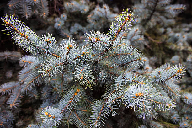 zweige der colorado blue spruce - colorado tanne stock-fotos und bilder