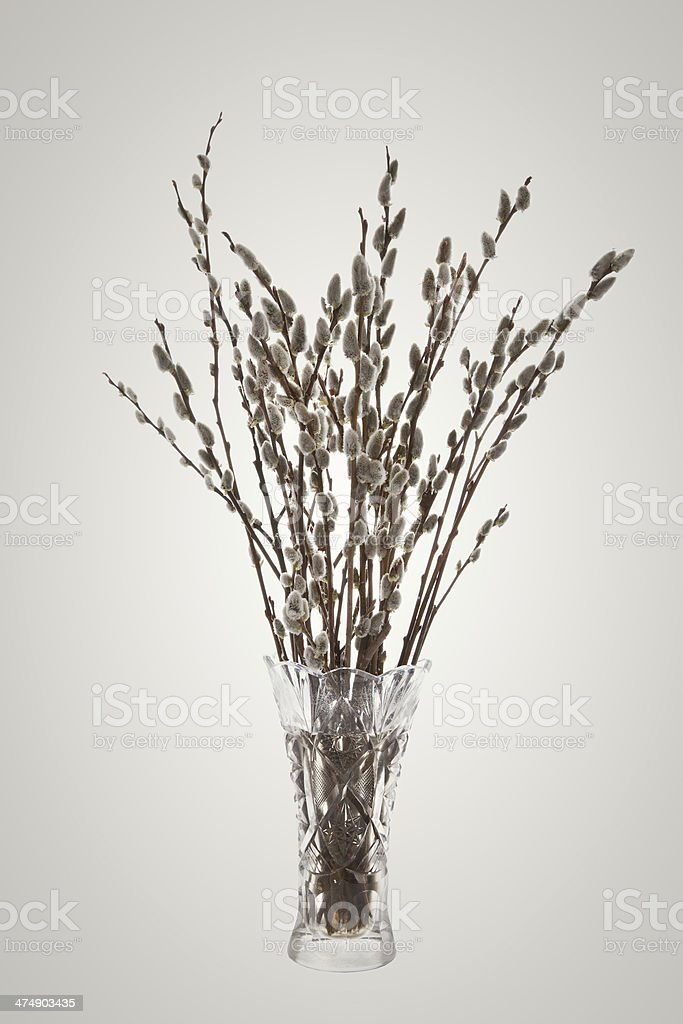 Branches of the pussy willow with flowering bud in vase stock photo
