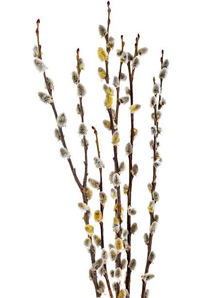 Galhos de Salgueiro de Amentilhos Sedosos com flores bud.Isolated. - foto de acervo