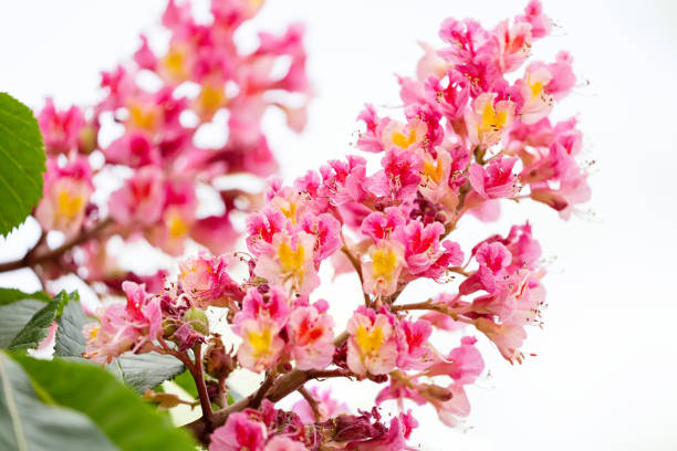 Royalty free horse chestnut pink flowers pictures images and stock branches of the red pink blooming chestnuts with leaves and inflorescence close up selective focus flowers of horse chestnut mightylinksfo