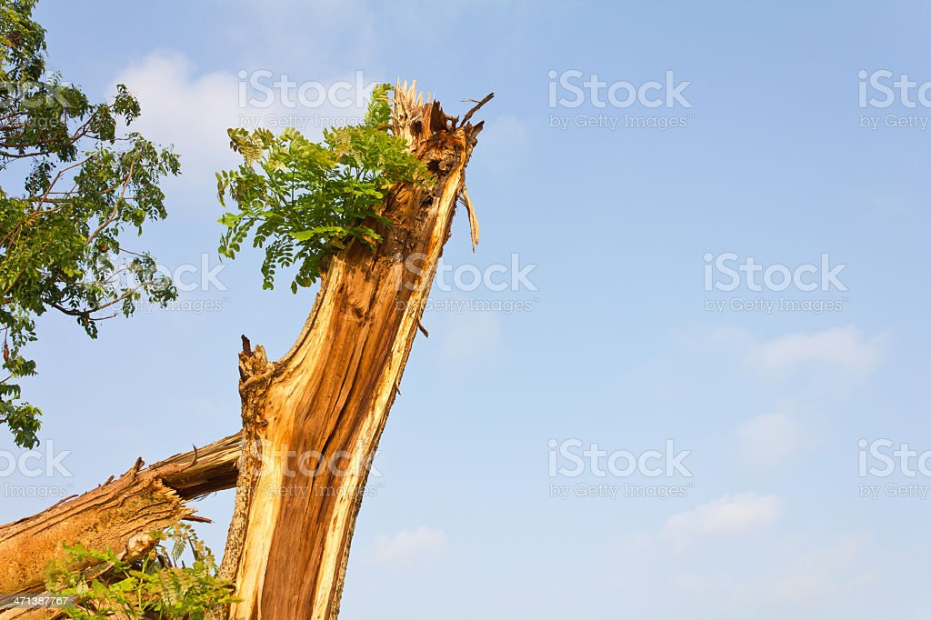 Branches of the tree splits. royalty-free stock photo