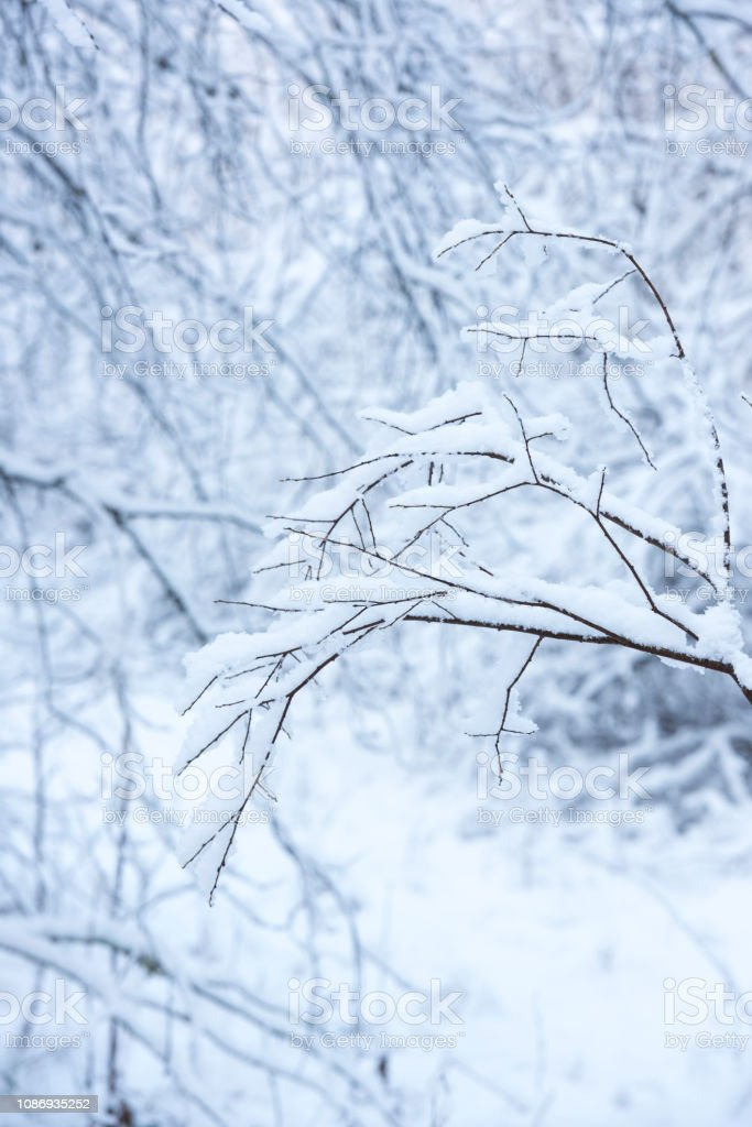 Branches of trees covered with snow in winter stock photo