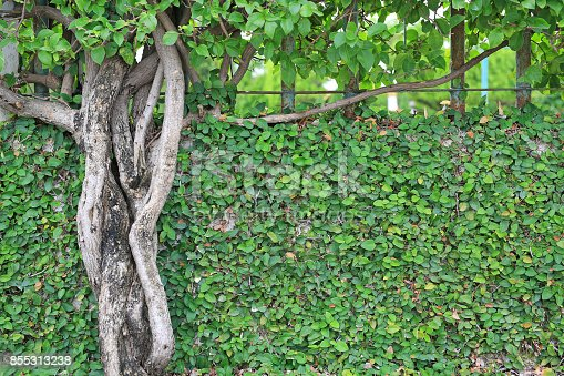 istock Branches of trees on brick walls and tree root. 855313238