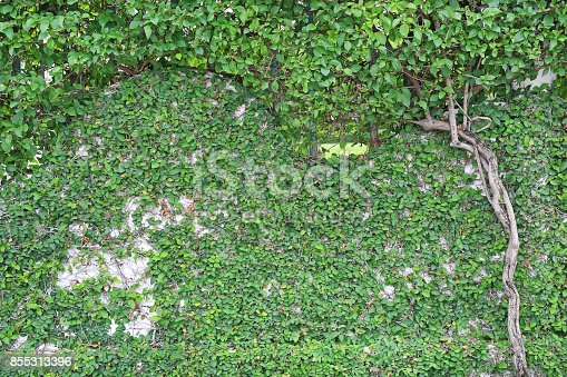 istock Branches of trees on brick walls and tree root. 855313396