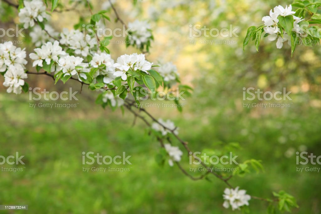 Branches Of Trees With Large White Flowers Of Apple Tree On
