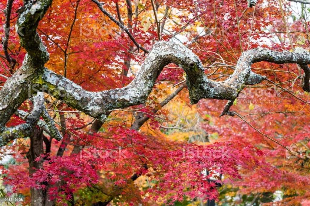 Branches of undone plum and autumn leaves of maple stock photo