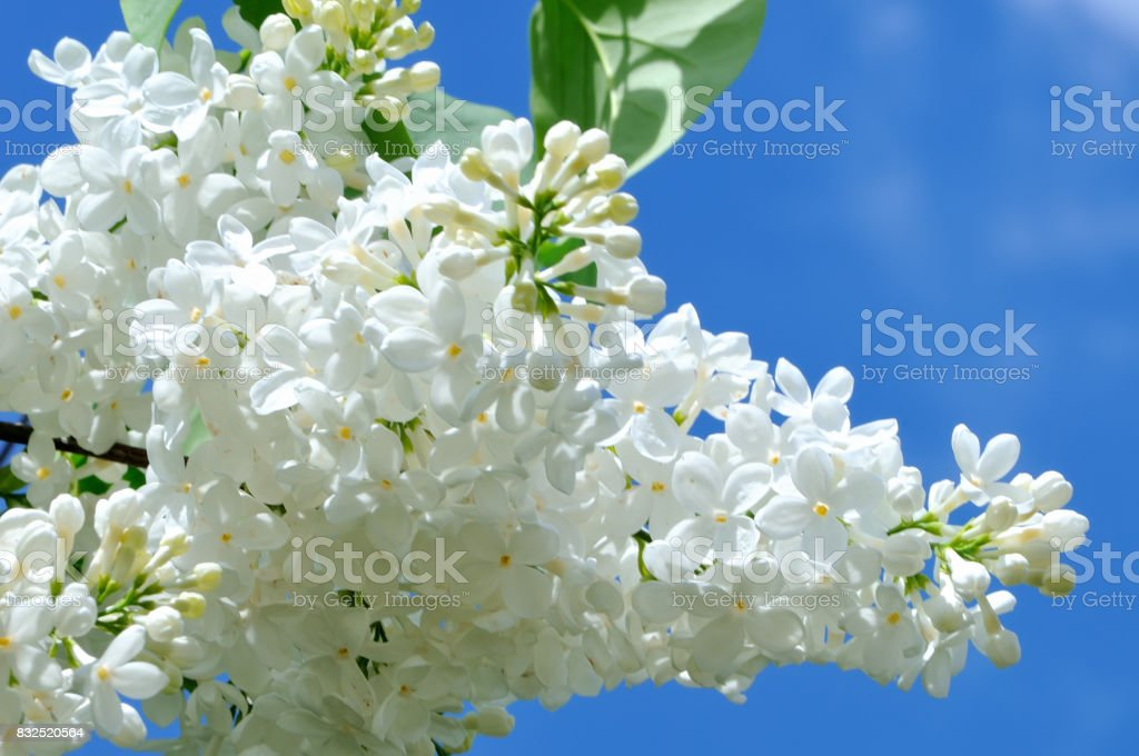 Branches of white lilac against a blue sky stock photo
