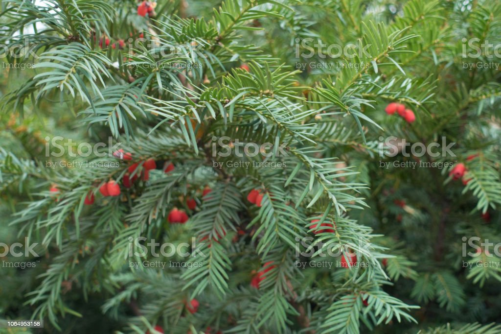 Branches Of Yew Bush With Red Seed Cones Stock Photo Download