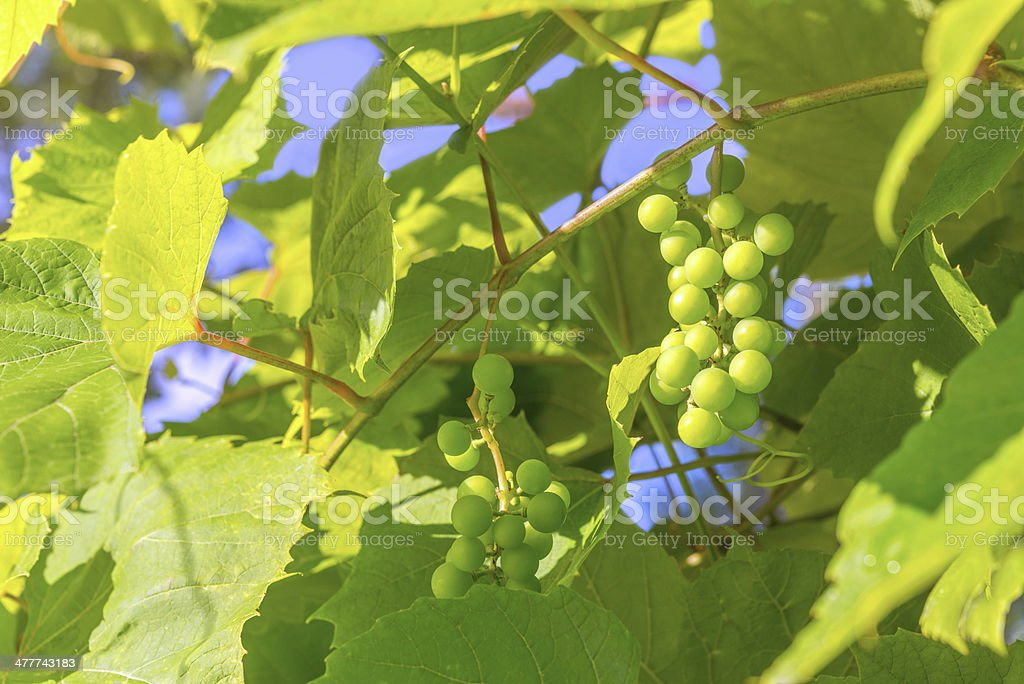 Branches of Young Grape royalty-free stock photo