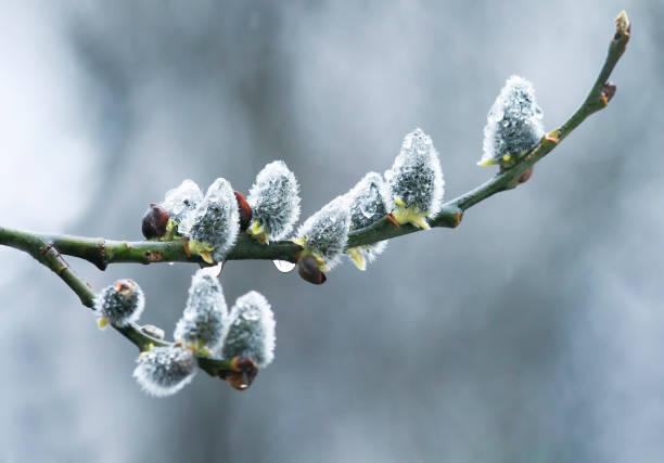 weiche flauschige weide knospen bedeckt mit regentropfen blühen im zeitigen frühjahr zweige - ohrringe tropfen stock-fotos und bilder