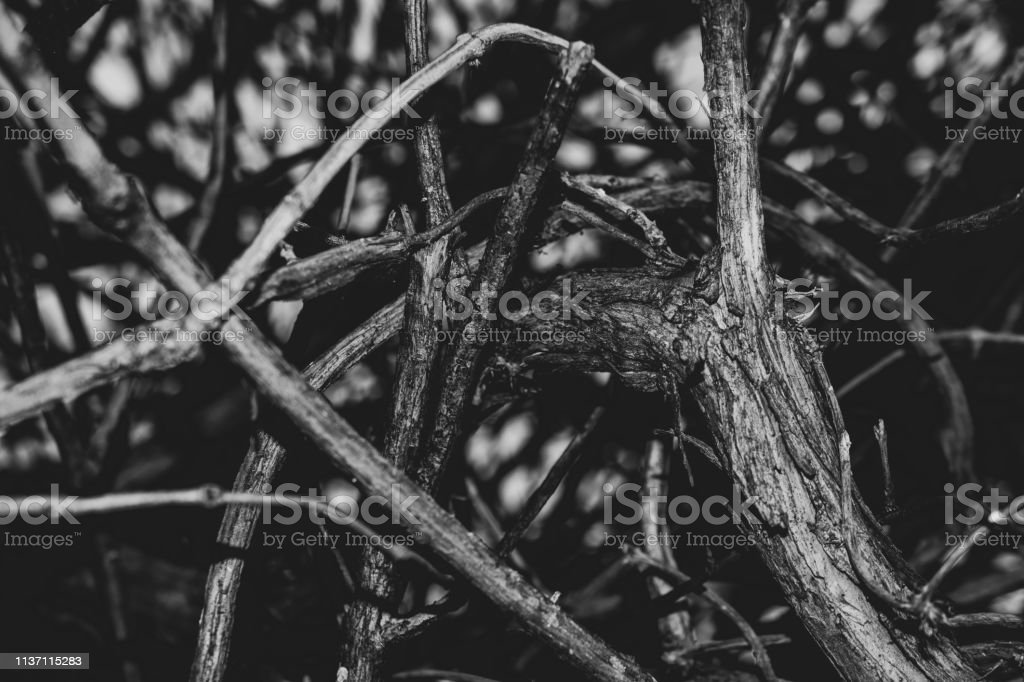 branches twisted monochrome stock photo