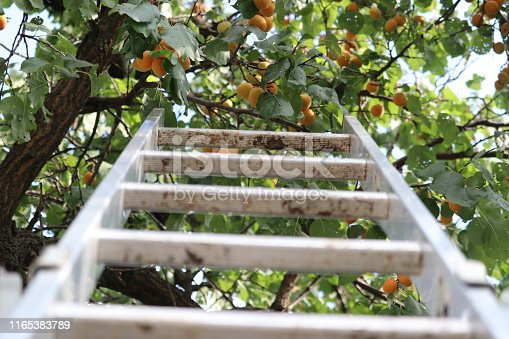 Branches with apricots. For picking apricot near the tree there is a ladder