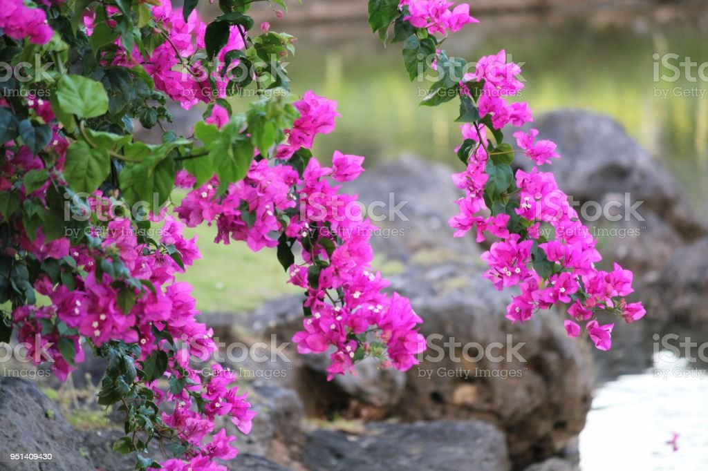 Branches with bright pink bougainvilla flowers hanging above blurred rocks in a garden – zdjęcie