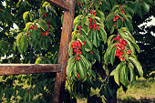 Branches with bunches of ripe white cherries and wooden ladder in an orchard Selective focus