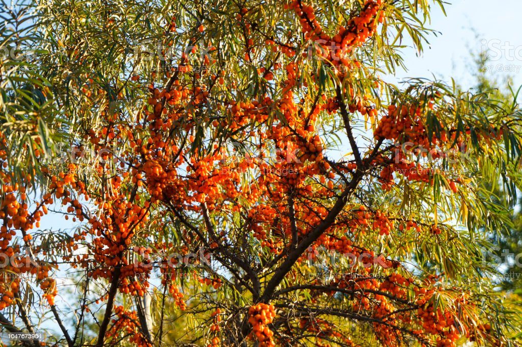 Branches With Clusters Of Juicy Orange Berries Of Seabuckthorn