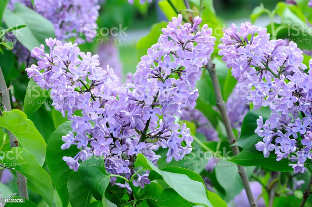 Branches with flowers of purple violet lilac stock photo