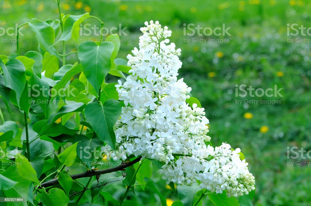 Branches with flowers of white lilac stock photo