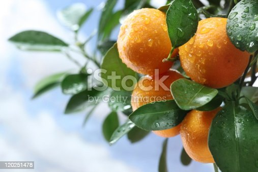 A picture of four orange tangerines on a tree branch surrounded by green leaves.  The background has more green leaves and a blue sky.  In the blue sky are a few white clouds.  The tangerines and leaves have water drops on them.