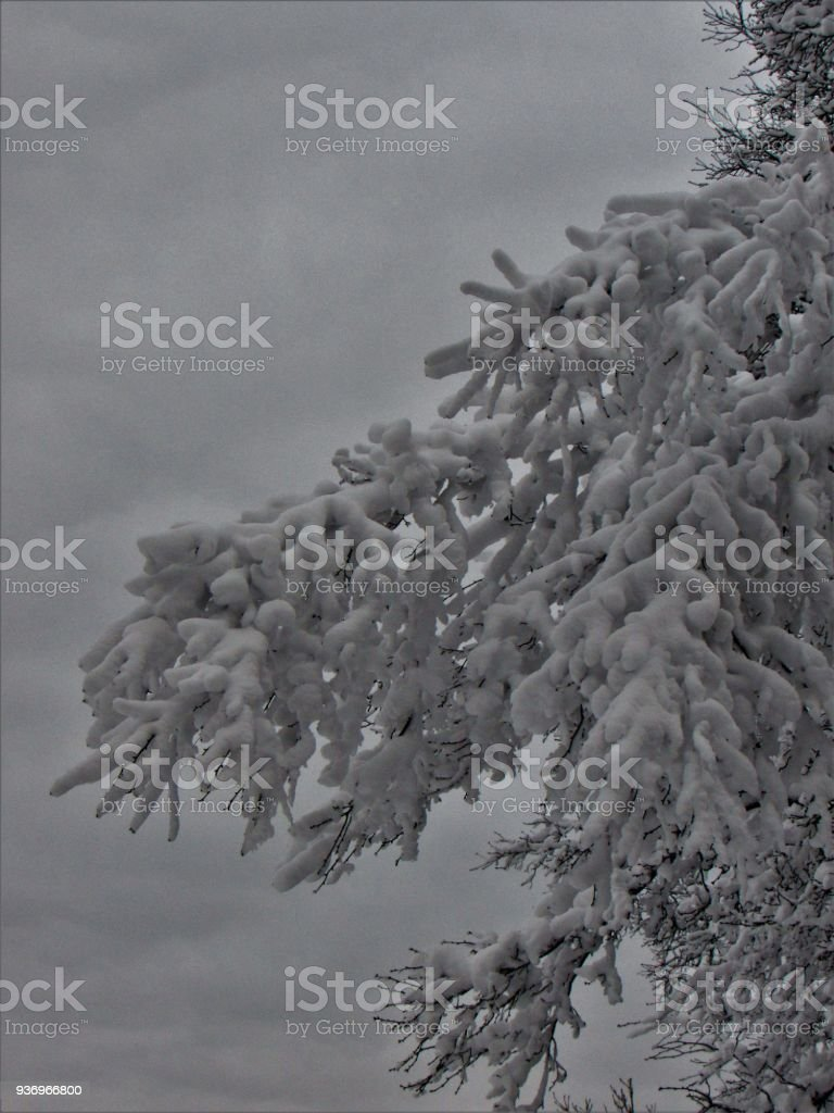 Branches With Snow stock photo