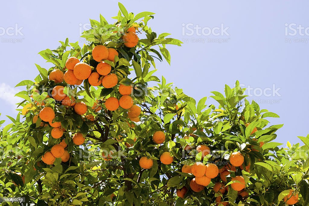 Branches with the fruits of tangerine trees, Tarragona, Spain royalty-free stock photo