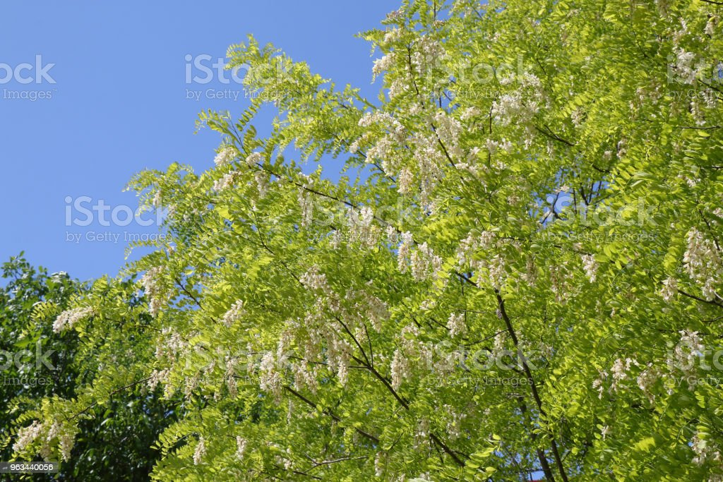 Branches with white flowers of Robinia pseudoacacia - Zbiór zdjęć royalty-free (Akacja)