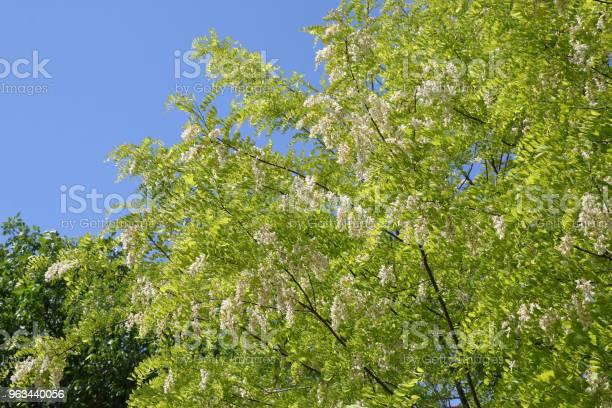 Gałęzie Z Białymi Kwiatami Robinia Pseudoacacia - zdjęcia stockowe i więcej obrazów Akacja