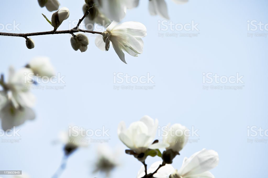 Branches with white magnolia flowers against sky  in spring. royalty-free stock photo