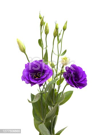 A branching stem of dark purple lisianthus isolated on white background
