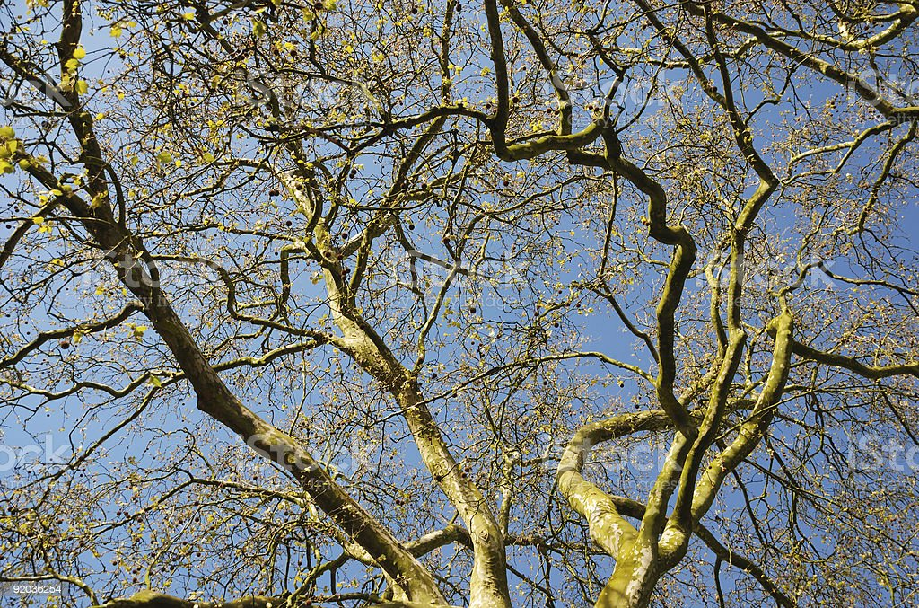 Branchs twisted with delicate foliage and blue sky royalty-free stock photo