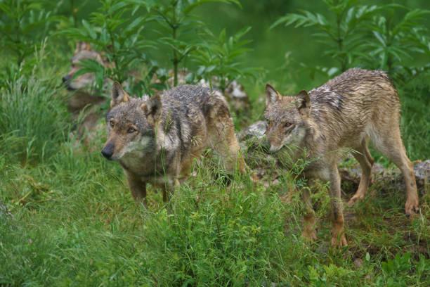Branco di lupi - foto de stock