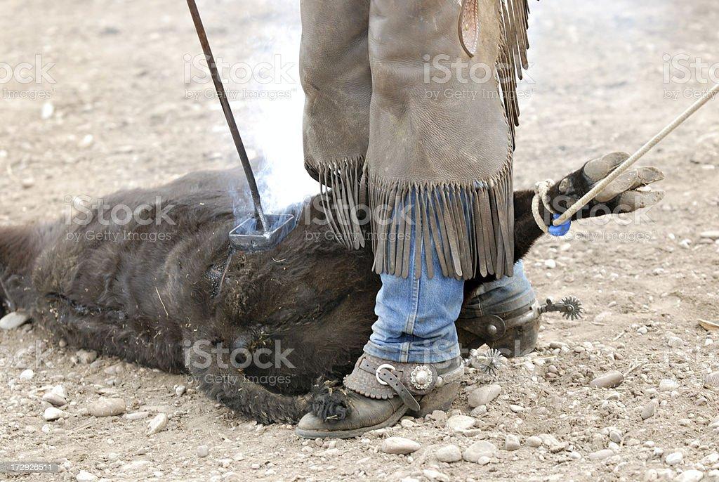 Branding a calf royalty-free stock photo