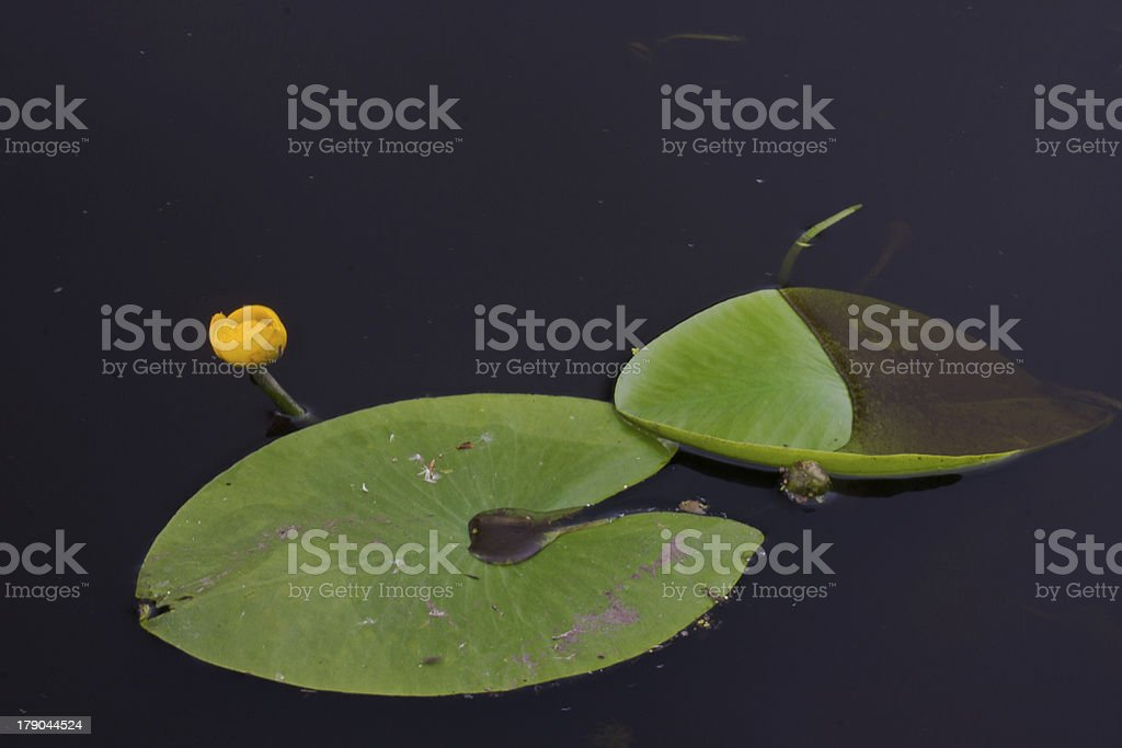 Brandy Bottle Water Lily stock photo