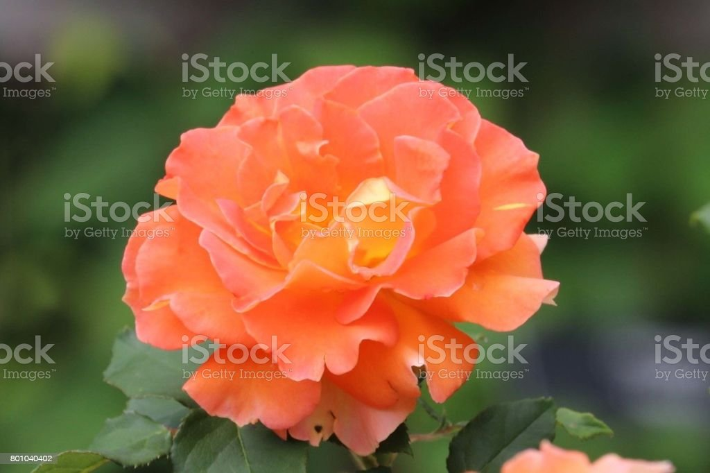 Brass Brand Rose stock photo