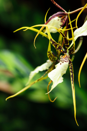 Green Brassia Orchid