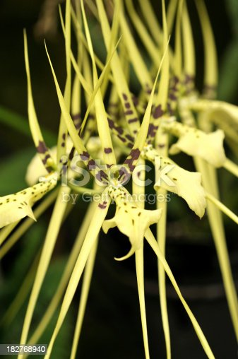 Many unusual Brassia orchids on branch. For more flowers (click
