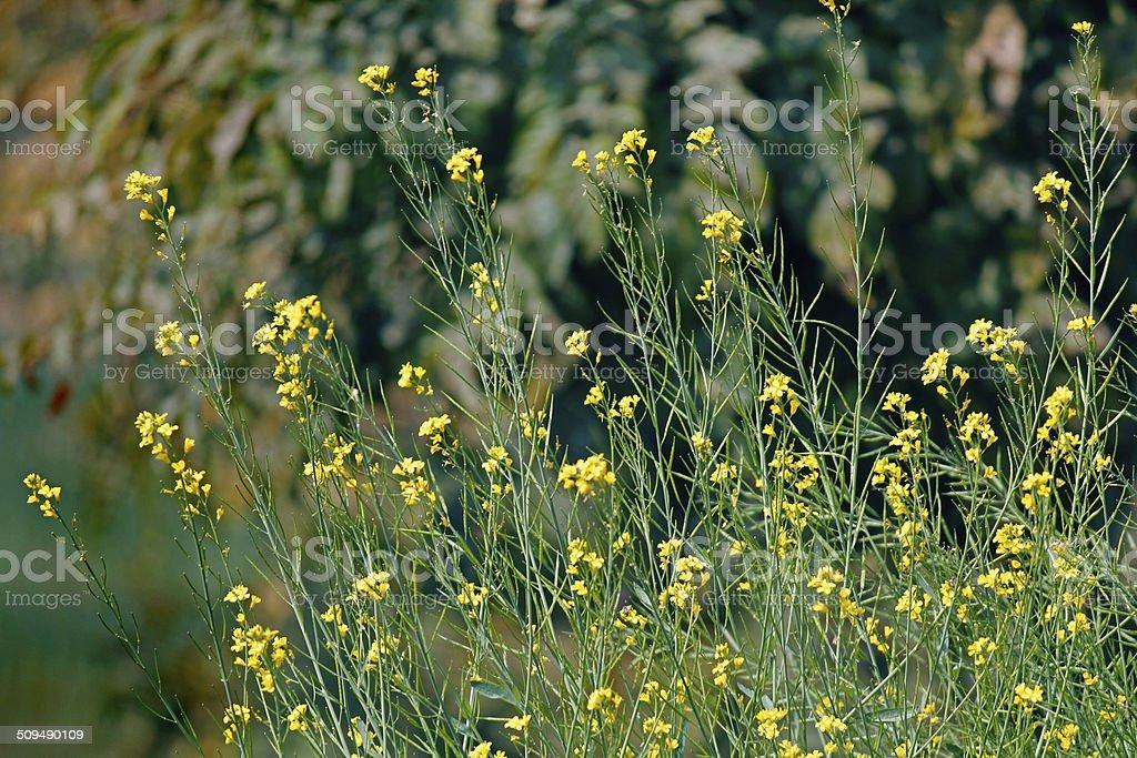 Brassica nigra, Black Mustard stock photo
