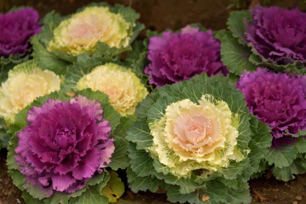 브라시카 올레라세아/관상용 양배추/관상용 케일 - 관상용 식물 뉴스 사진 이미지