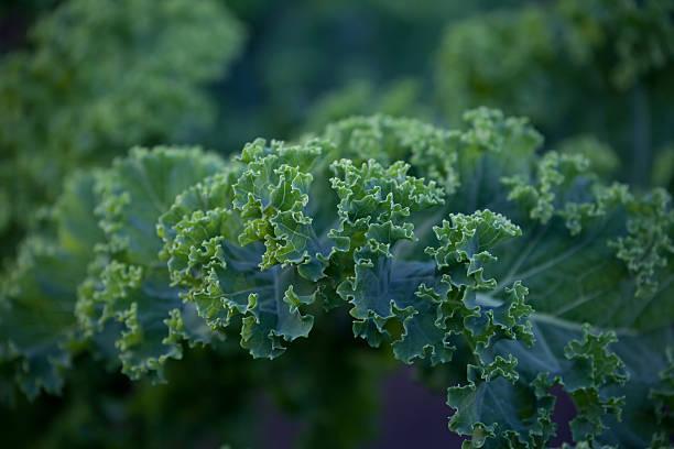 mostarda oleracea - repolho verde - fotografias e filmes do acervo