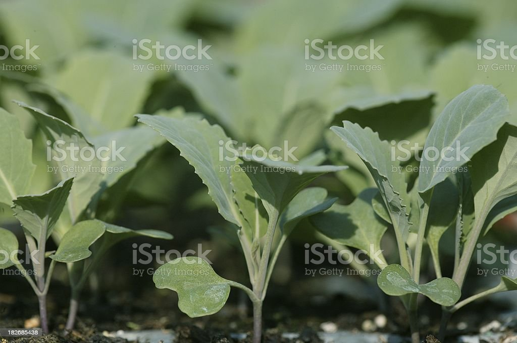 Brassica plants royalty-free stock photo