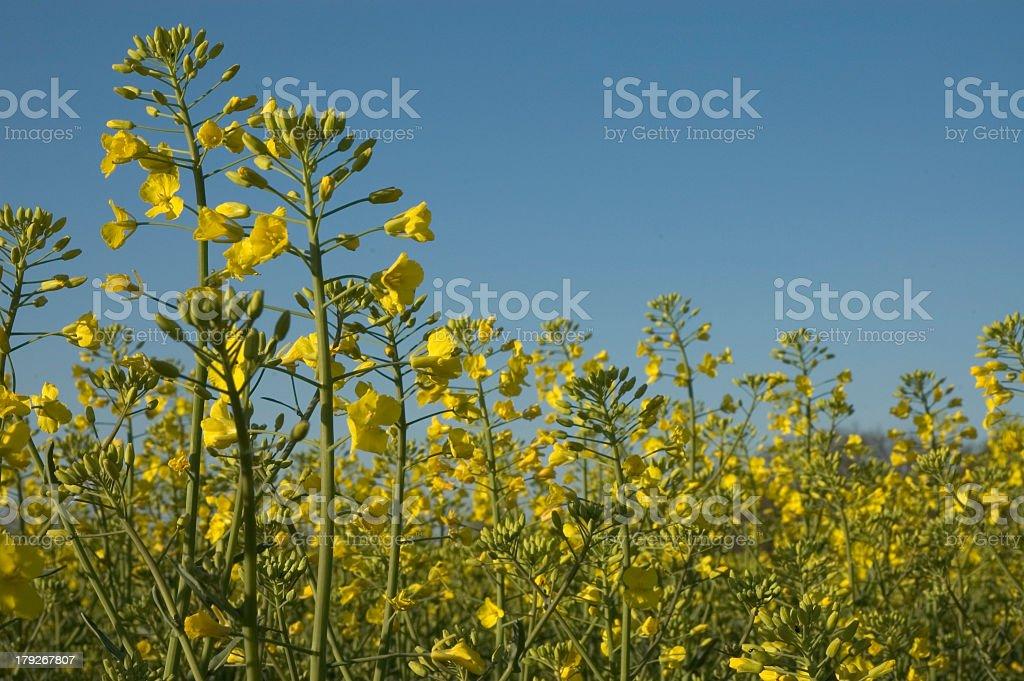 Brassica_napus stock photo