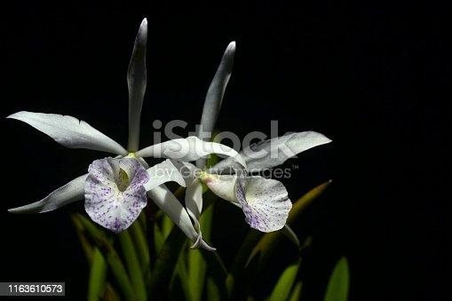 White hybrid brassocattleya orchid