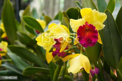 Brassolaeliocattleya alma kee tip malee yellow and red orchid flowers