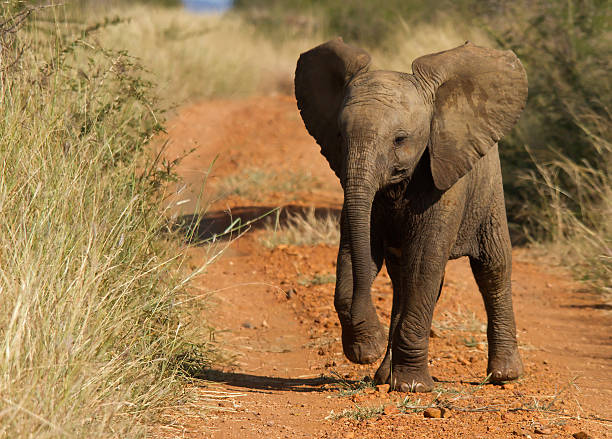 Bravado Baby elephant showing some bravado, image taken in Madikwe game reserve, South Africa. elephant calf stock pictures, royalty-free photos & images