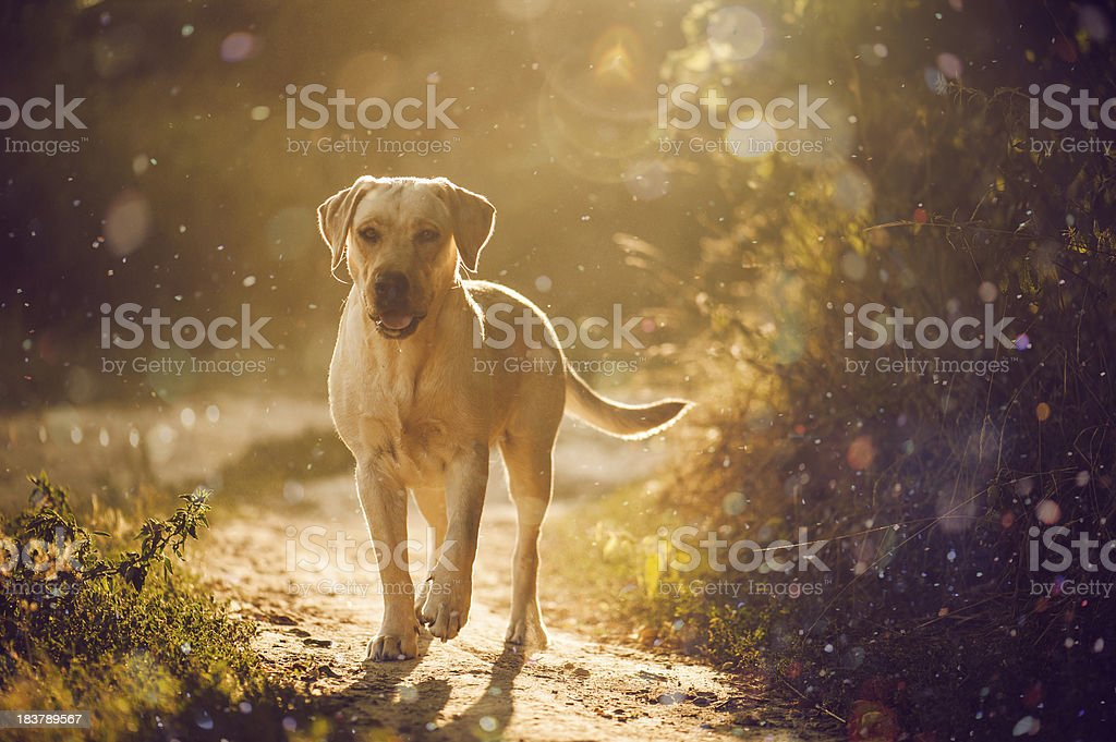 brave and kind labrador for a walk in the park. royalty-free stock photo