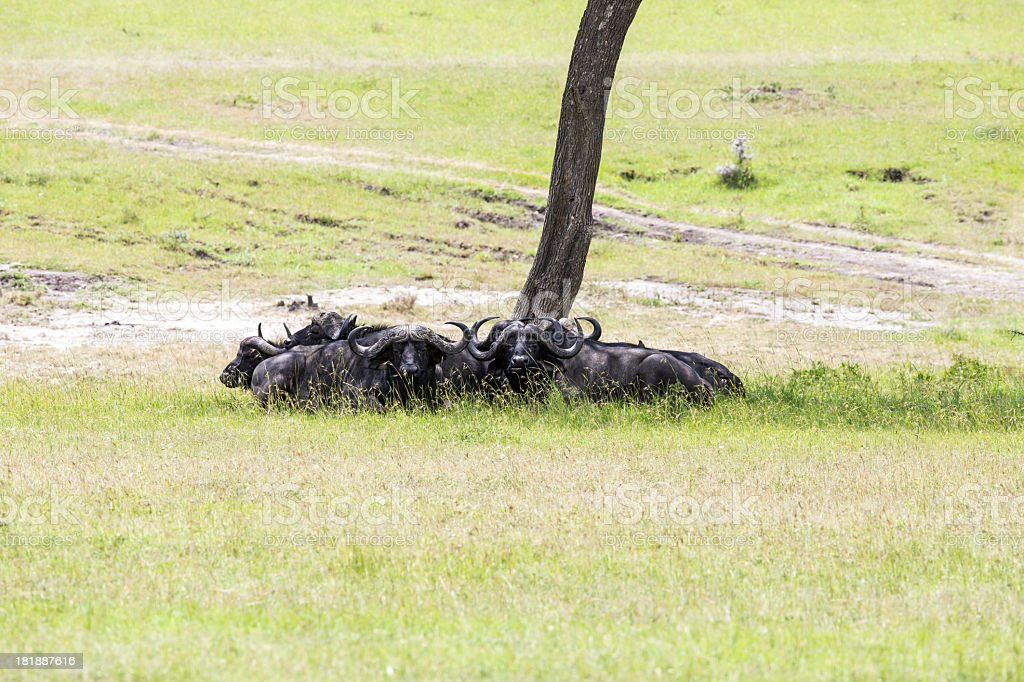 Brave Buffalos in shadow - very hot day royalty-free stock photo