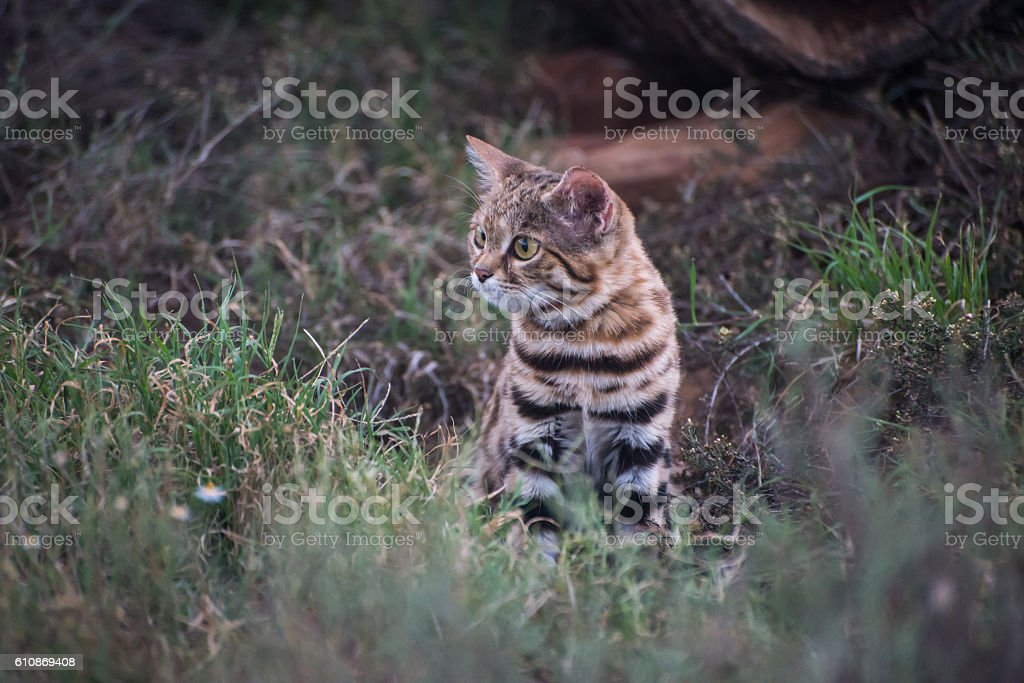 Brave little black footed cat watching nervously stock photo